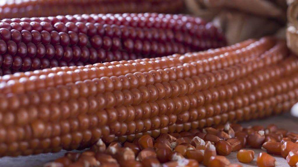 Le pannocchie color rame del granoturno Nostrano di Storo (© Consorzio Turistico Valle del Chiese)
