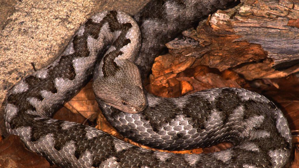 Vipera dal corno (Ph. francesco de marco / Shutterstock.com)