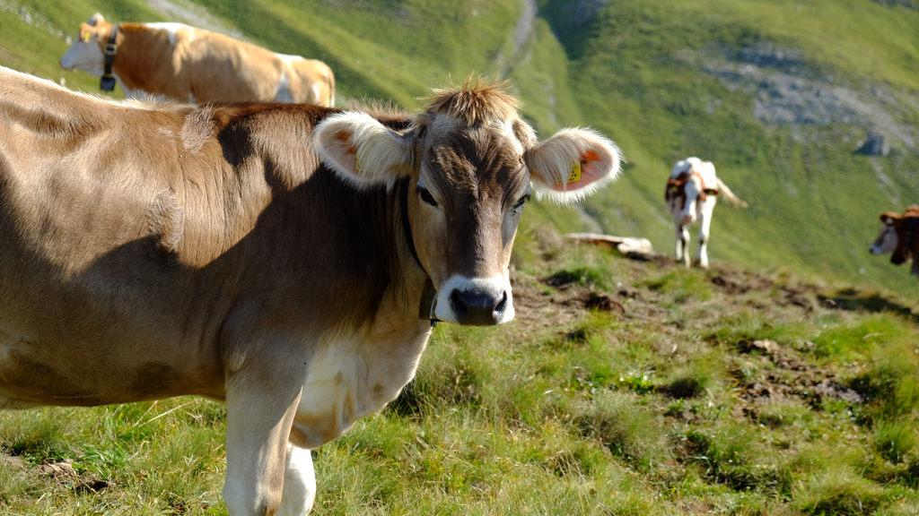 Mucche al pascolo presso Passo Feudo (ph. Mirko Ropelato)