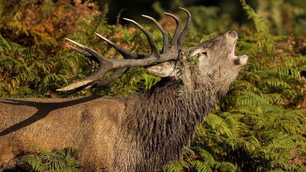 Bramito del cervo (Ph. Vytautas Knyva / Shutterstock.com)