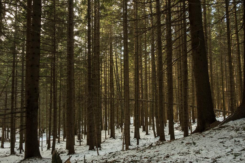 Bosco di conifere prima di Malga Cambroncoi (Ph. Mirko Ropelato)