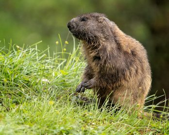 Marmotta (Ph. Mirko Ropelato)
