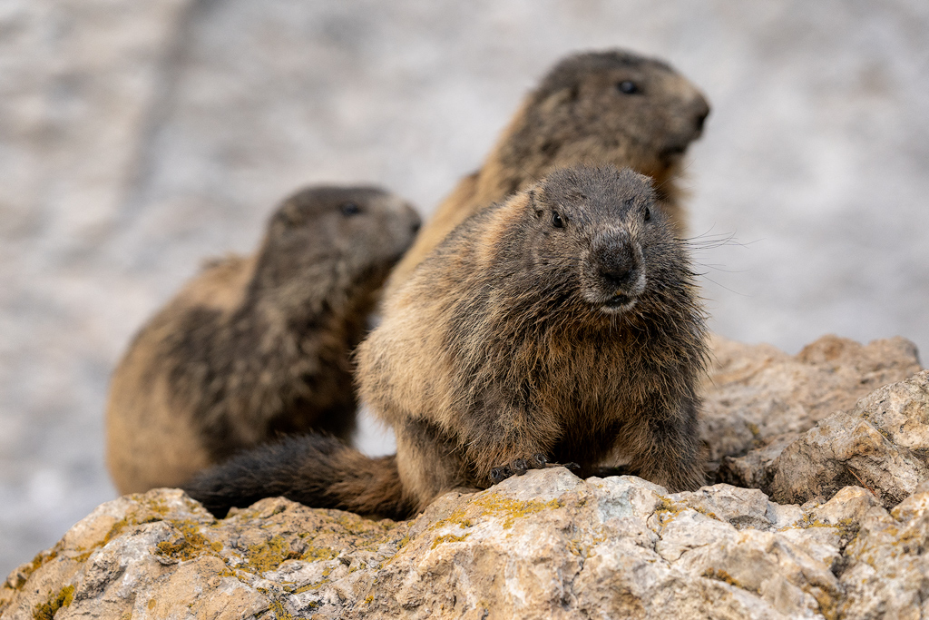 Marmotte a Pian Schiavaneis (Ph. Mirko Ropelato)