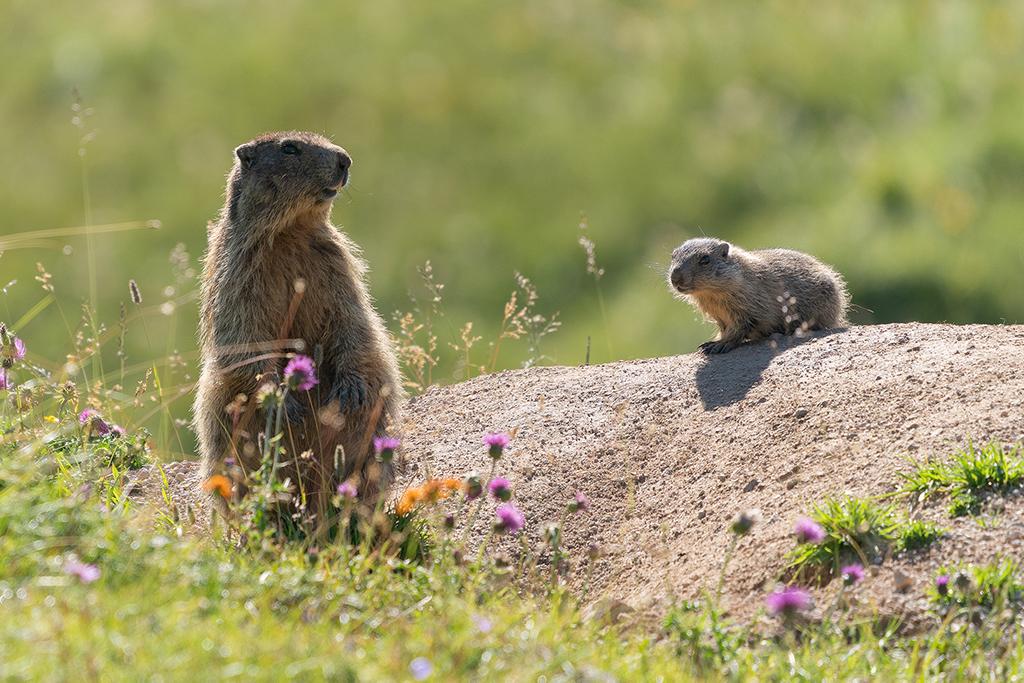 Marmotte (Ph. Mirko Ropelato)